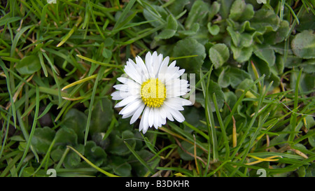 wiese gaensebluemchen bellis perennis asteraceae korbbluetler stock photo royalty free. Black Bedroom Furniture Sets. Home Design Ideas