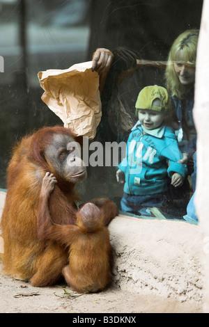 Sumatra Orang Utan Pongy pygmaeus abelii Young Orang Utan with female adult are watching visitors - Stock Photo