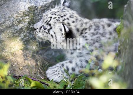 Schneeleopard Uncia uncia Snow Leopard one month old cub - Stock Photo