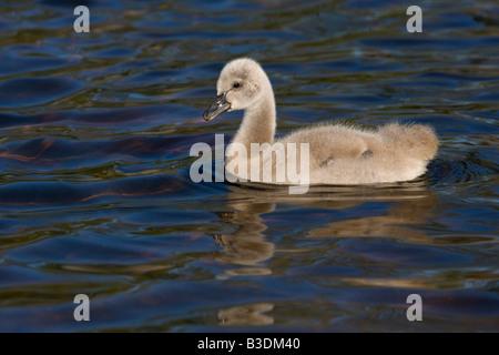 Trauerschwan Schwarzer Schwan Cygnus atratus Kuecken Junges Jungtier Niederlande black swan youngster chick - Stock Photo