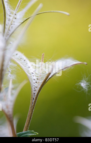 Closeup of open seed capsules of fireweed Chamerion angustifolium - Stock Photo