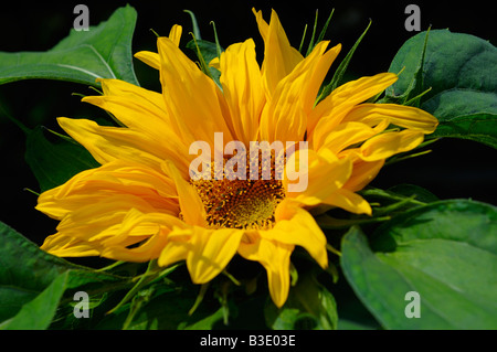 Bright yellow sunflower against a dark shade background - Stock Photo