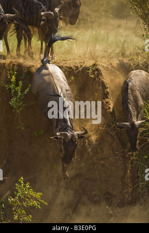 A pair of wildebeest leap off of an embankment on the Mara River in the Masai Mara during the annual migration dust - Stock Photo