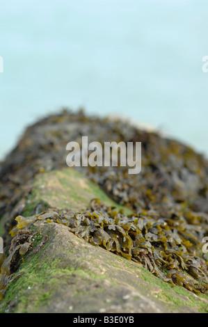 Seaweed on rocks - Stock Photo