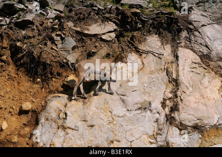 Alpine Ibex mountain goat walking on a steep rock cliff in Omega Park Quebec Canada - Stock Photo
