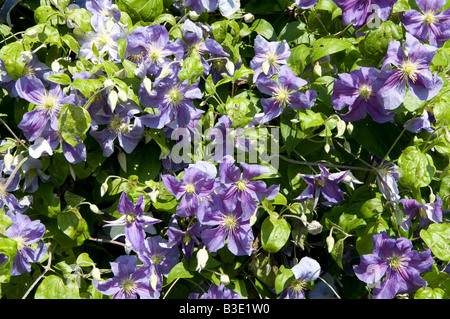 Clematis Old Man's beard `Travellers` joy - Stock Photo