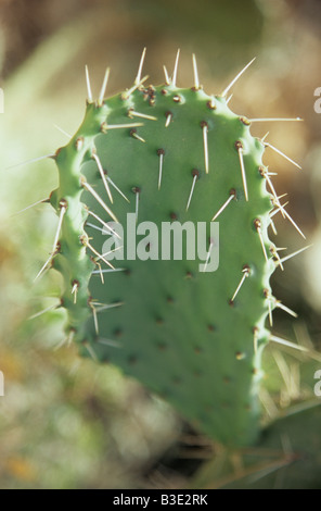 Italy, Sardinia, Cactus opuntia (Ficus-indica), close-up - Stock Photo