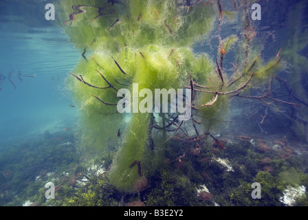 Under water tree formed by mangrove tree branches hanging in the water overgrown with seaweed - Stock Photo