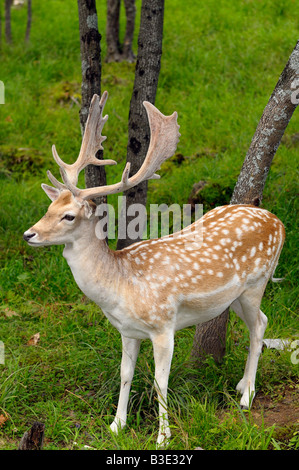 Fallow Deer buck with growing antlers in an open forest at a Quebec nature preserve Omega Park - Stock Photo