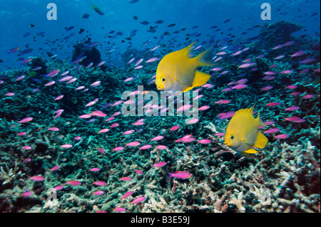 Golden damsels over coral reef with Yellowstriped anthias  Indonesia - Stock Photo