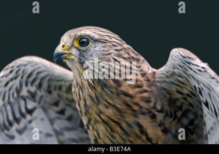 Common Kestrel (Falco Tinnunculus) (also known as the European or Eurasian Kestrel), UK - Stock Photo