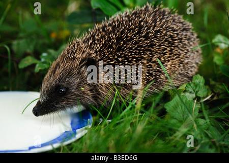 A juvenile West European Hedgehog, (Erinacaeus europaeus) drinking milk from a saucer. - Stock Photo