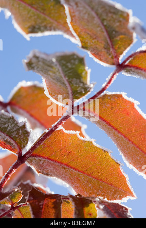 Leaves covered in snow - Stock Photo