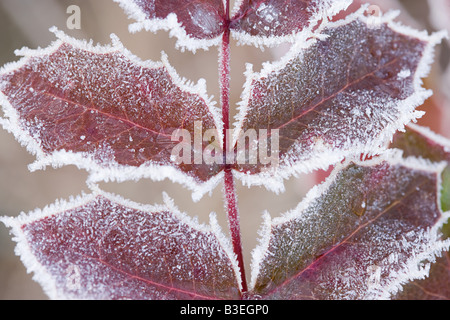 Frozen leaves - Stock Photo