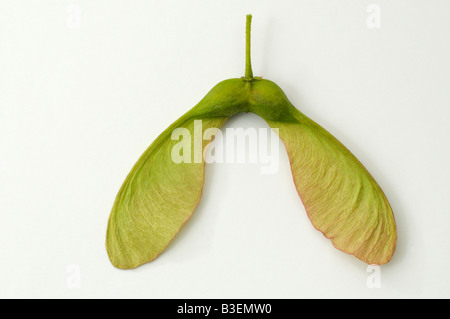 Sycamore Great Maple (Acer pseudoplatanus) winged seed
