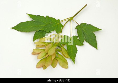 Sycamore Great Maple (Acer pseudoplatanus) twig with fruit and leaves