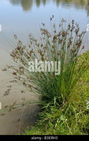 Soft Rush (Juncus effusus) growing at the waters edge - Stock Photo