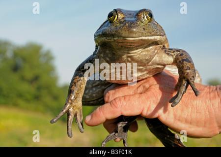 American Bullfrog (Rana catesbeiana), adult held in hand - Stock Photo