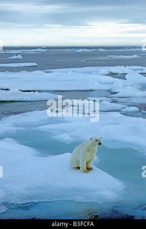 Polar Bear (Ursus maritimus, Thalarctos maritimus) sitting on ice floe - Stock Photo