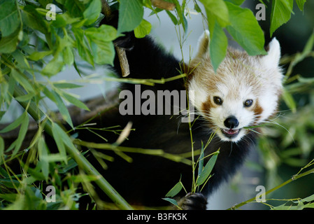 Panda Ailurus fulgens Red Panda