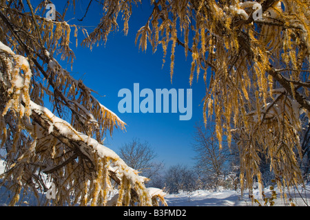 Winter sets in freshly snow covered winter landscape after winter set in with autumnal coloured larches Schwaebische - Stock Photo