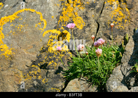 Sea Pink growing in a cleft of a rock covered with lichen Central Mainland Shetland Isles Scotland UK - Stock Photo