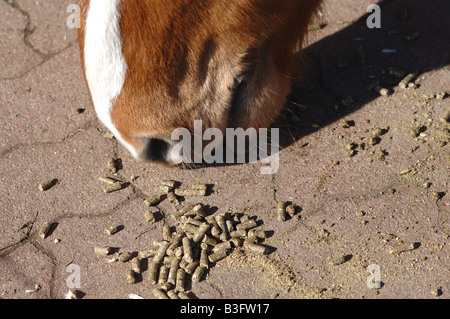 guzzling snout of a horse - Stock Photo