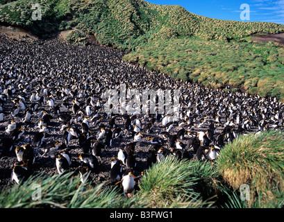 Haubenpinguinkolonie Royal Penguin colony Eudyptes schlegeli Macquarie Island Australia Australien - Stock Photo