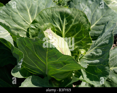 Weisskohl, Spitzkohl, Wild Cabbage (Brassica oleracea) - Stock Photo