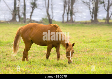 Chestnut colored Horse grazing on Maui Hawaii - Stock Photo