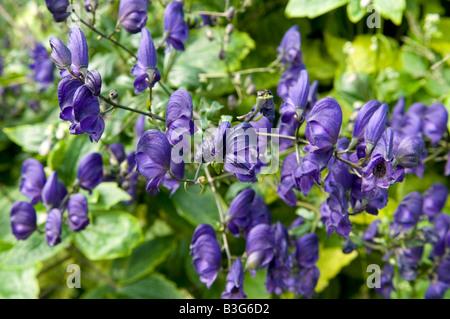 Aconitum aconite Monkshood Wolf's bane `Spark's Variety` - Stock Photo