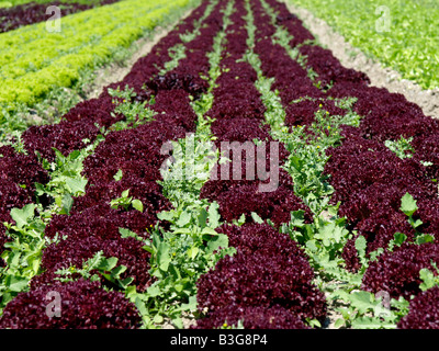 Deutschland, Bodensee, Salatfelder auf der Insel Reichenau, Salad fields on the island Reichenau at lake constance - Stock Photo