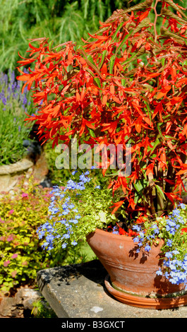 ... Flame Red Begonia In A Pot In A Country Garden In England During The  Summer