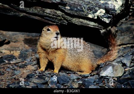 European Ground Squirrel European Suslik European Souslik Citellus citellus Spermophilus citellus adult Erdhoernchen - Stock Photo