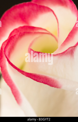 Pink and white Lisianthus flower against black background - Stock Photo