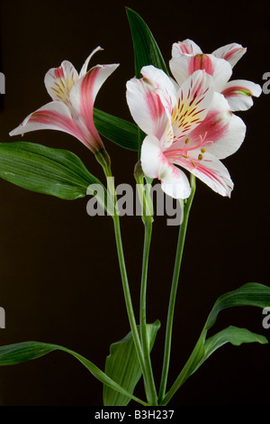 Three Inca Lily flowers (Alstroemeria cultivar) in portrait format - dark background and side lit - Stock Photo
