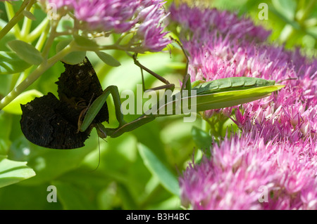 European Praying Mantis (Mantis religiosa) - on Sedum garden shrub, eating butterfly, France. - Stock Photo