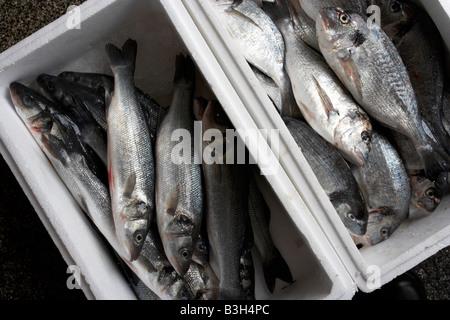 sea bass and sea bream fish in box - Stock Photo