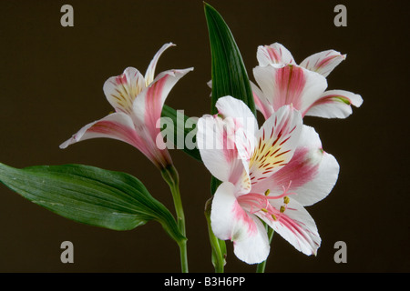 Three Inca Lily flowers (Alstroemeria cultivar) in landscape format - dark background and side lit. - Stock Photo