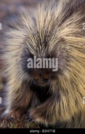 Porcupine Erethizon dorsatum Alaska - Stock Photo