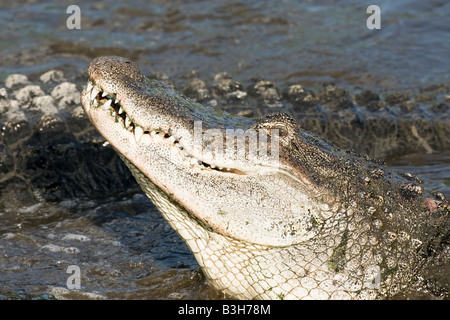 A close up of the head of an American Alligator - Stock Photo