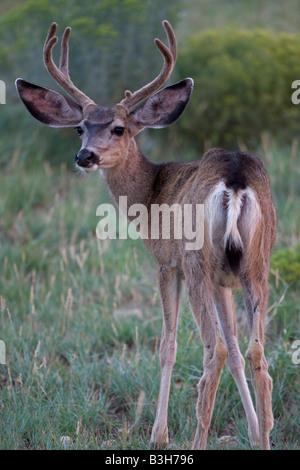 Mule Deer (Odocoileus hemionus) Arizona USA Buck in velvet in field - Stock Photo