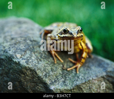 Common Frog, Rana Temporaria. - Stock Photo