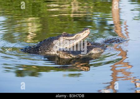 American Alligator courtship - Stock Photo