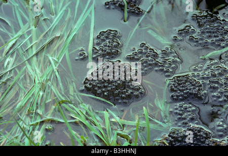 Recently laid frog Rana temporaria spawn floating at surface of a pond - Stock Photo