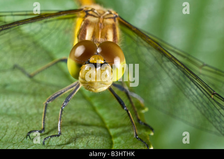 Common Darter dragonfly sympetrum stiolatum resting on a leaf. - Stock Photo