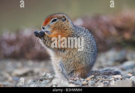 Arctic Ground Squirrel (Spermophilus parryii), adult eating, Alaska, USA - Stock Photo