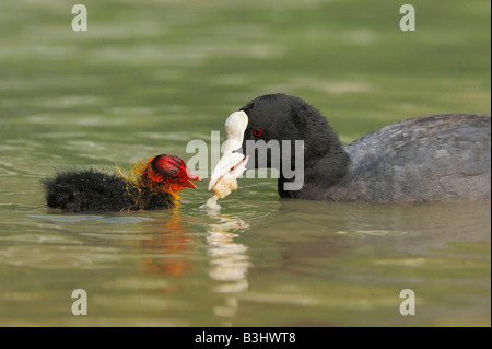 Eurasian Coot (Fulica atra), adult feeding young with bread, Switzerland - Stock Photo