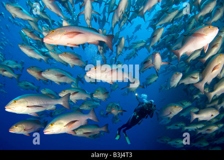 Scubadiver observing a scholl of dogtooth snappers matting around Ras Mohammed. - Stock Photo