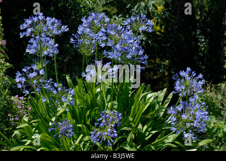 African blue lily Agapanthus africanus flowers back lit in a garden - Stock Photo